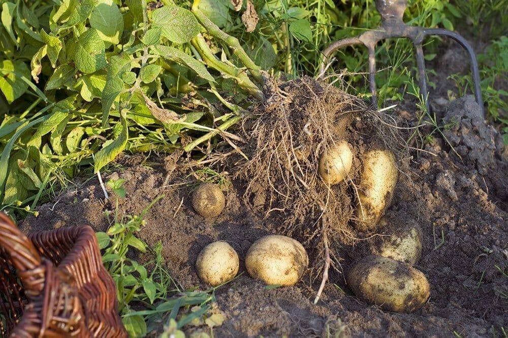 kartofler opgravning vinteropbevaring