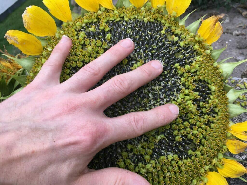 Solsikke høst solsikkefrø