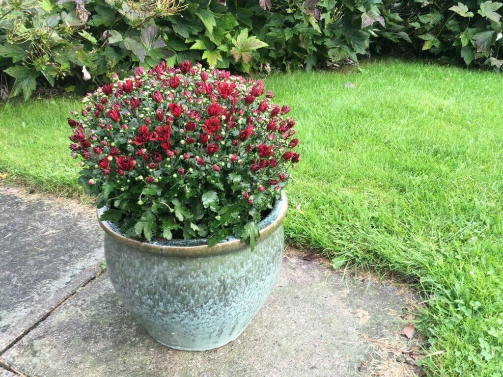krysantemum dyrkning