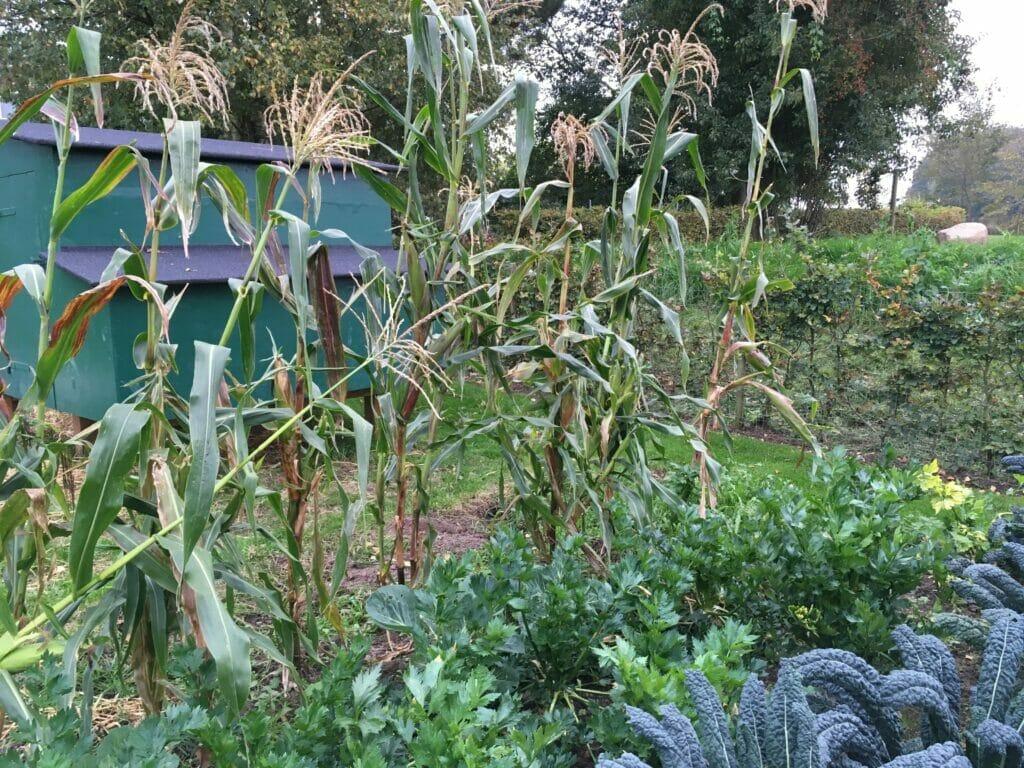 Majs køkkenhave dyrkning