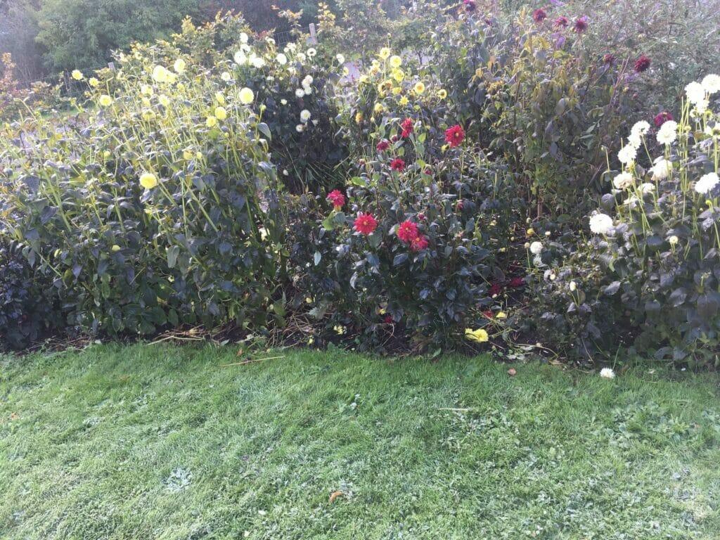Georginer blomstring frost