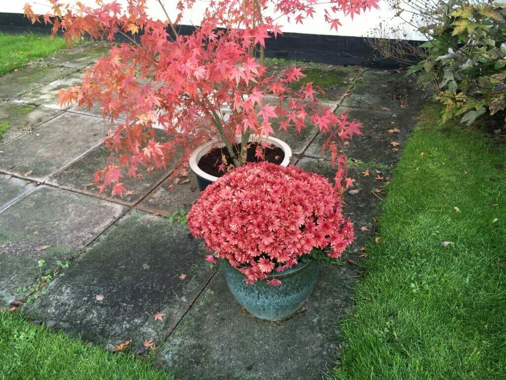 rød krysantemum efterår
