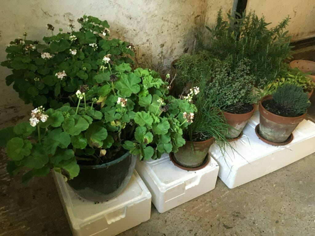 vinteropbevaring af pelargonier
