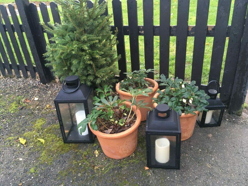 Juletræ juleroser julepynt til haven