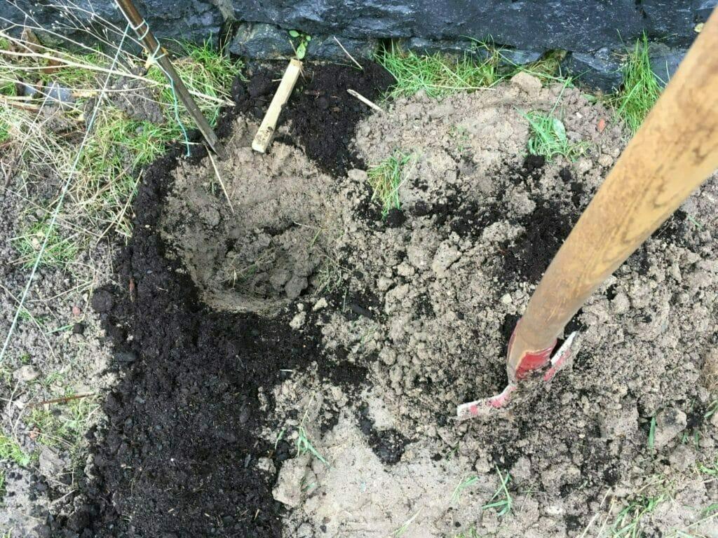 hækplanter ligusterhæk plantning