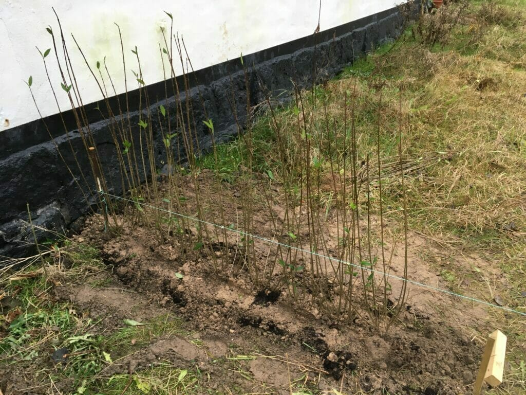 ligusterhæk plantning