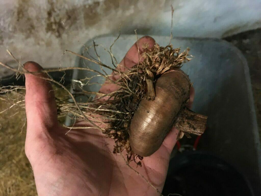 gladiolus formering