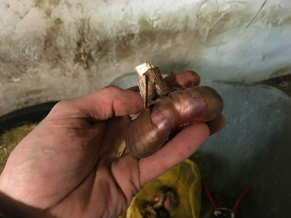 gladiolus gladiolusløg