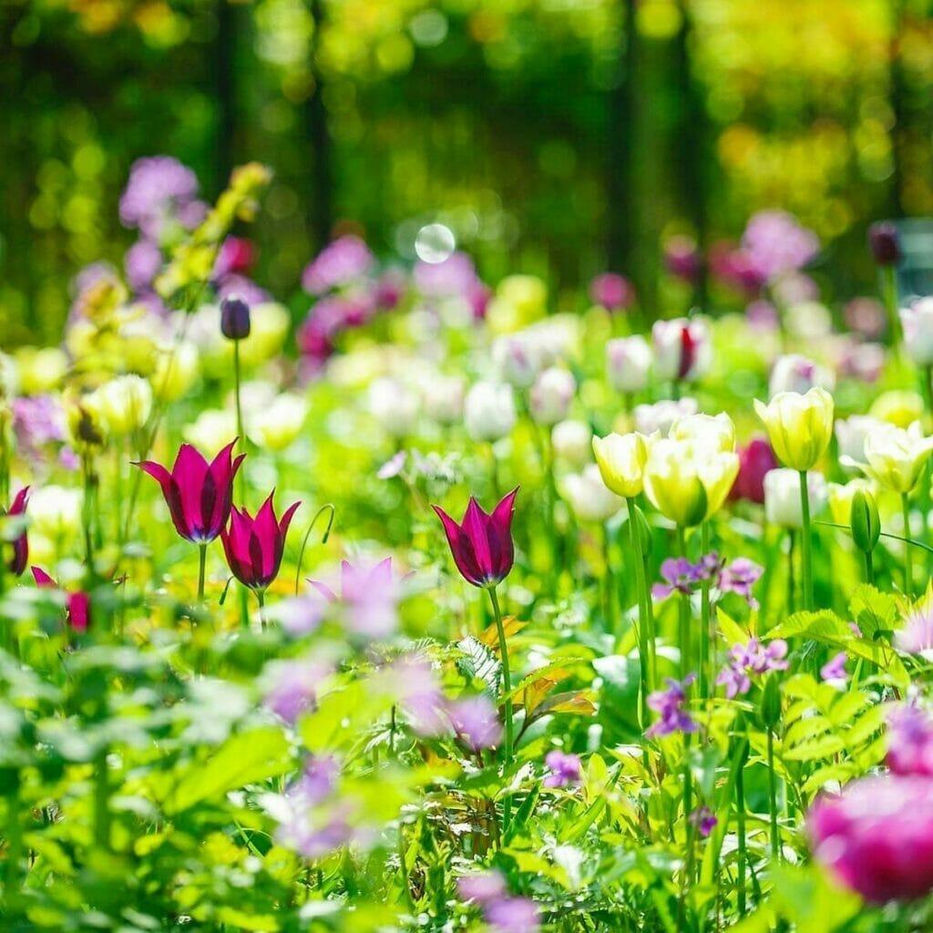 første forårsblomster tulipaner