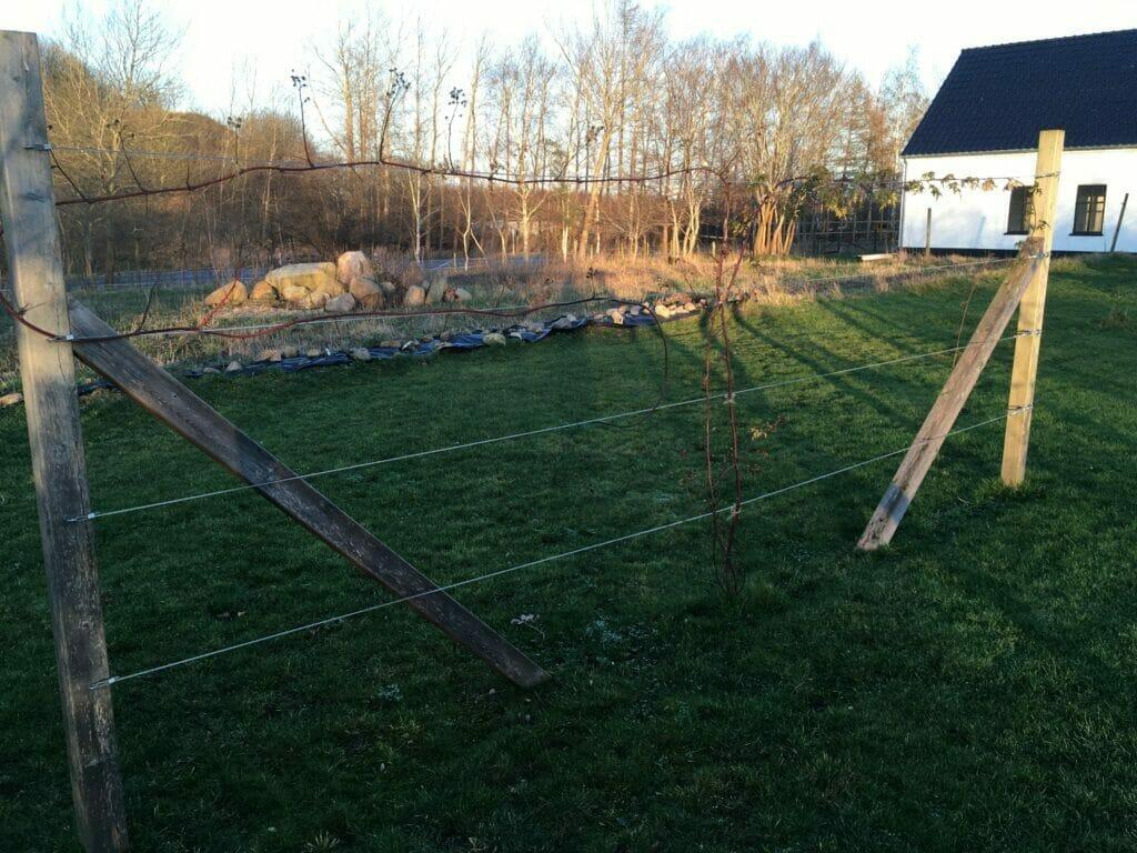 opbinding brombær i haven