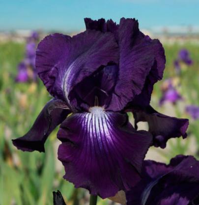 Haveiris Iris Germanica