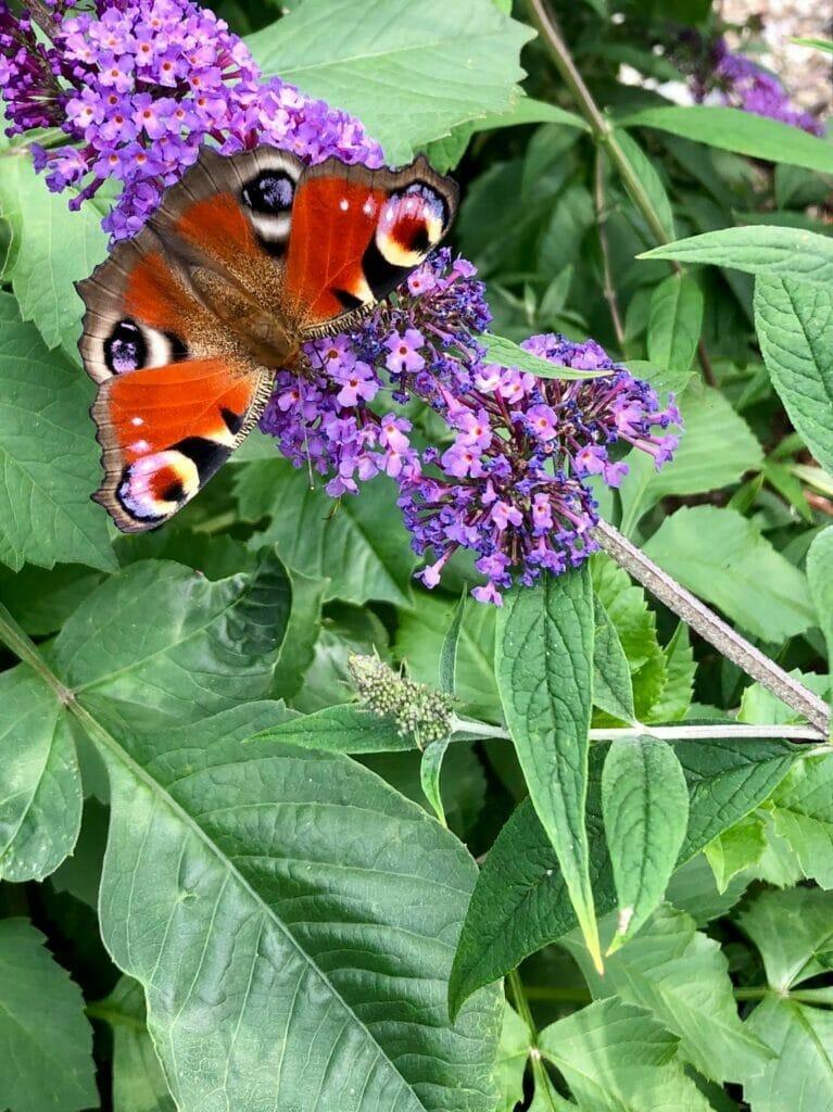 Lilla sommerfuglebusk