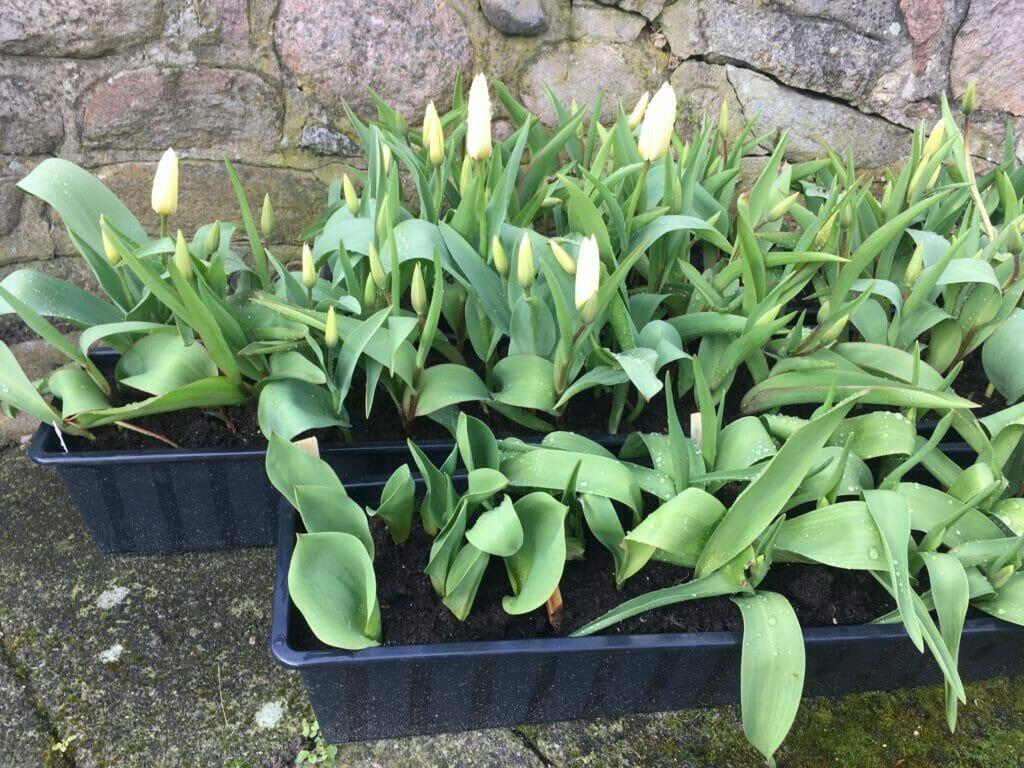 dyrkning af tulipanløg