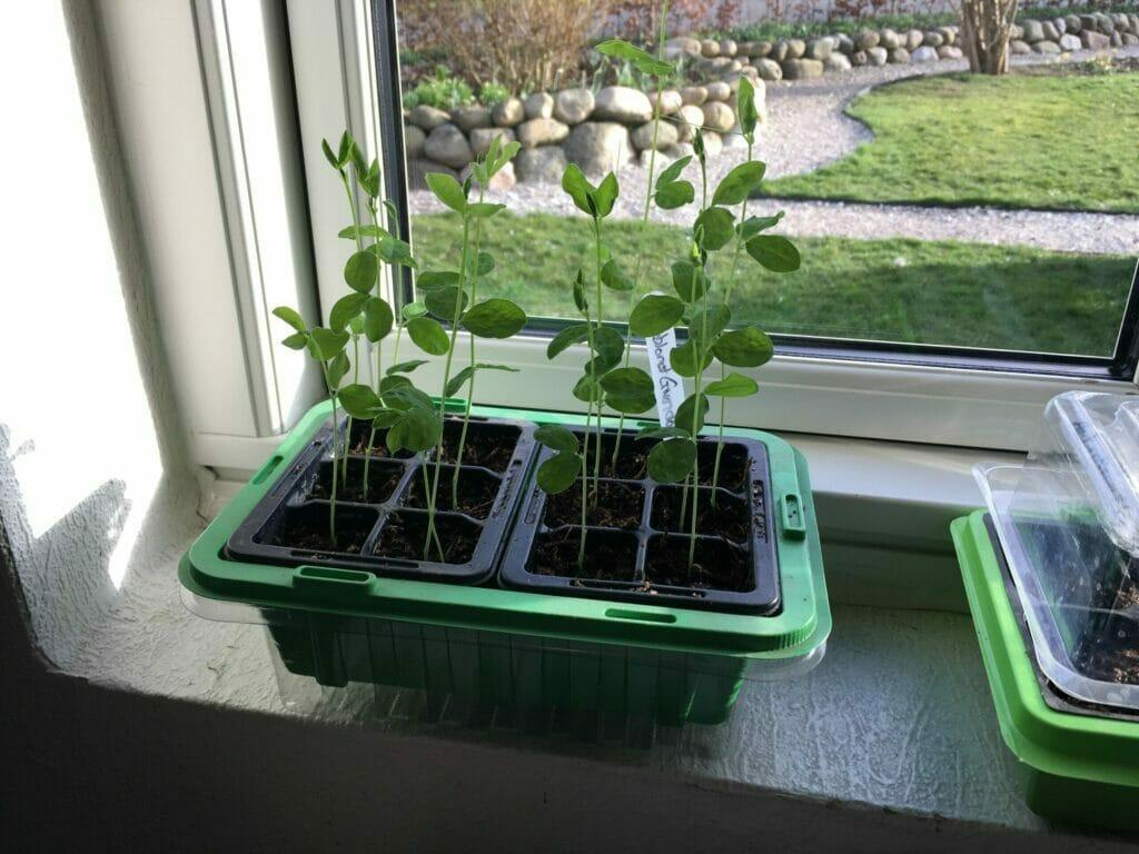 dyrkning af ærteblomst