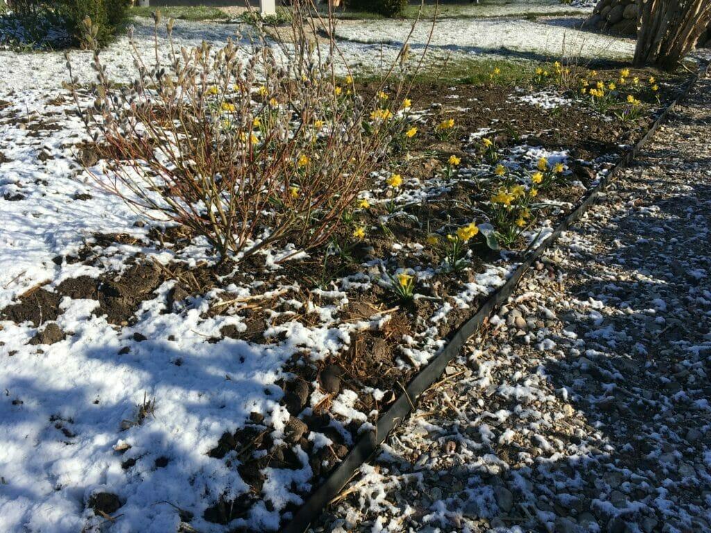 forårsløg frost græsplæne have