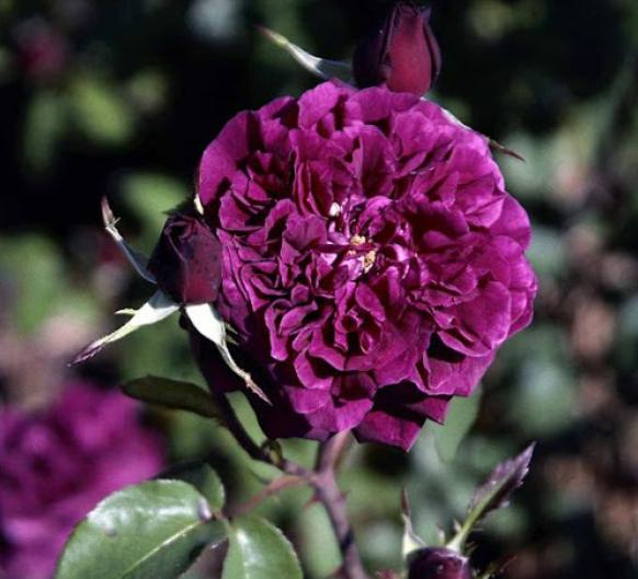 Munsteed Wood rose