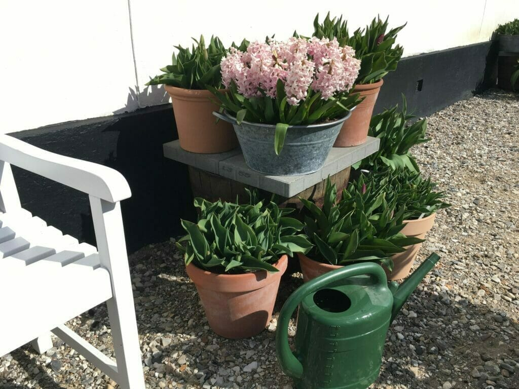 vanding af løgplanter tulipaner