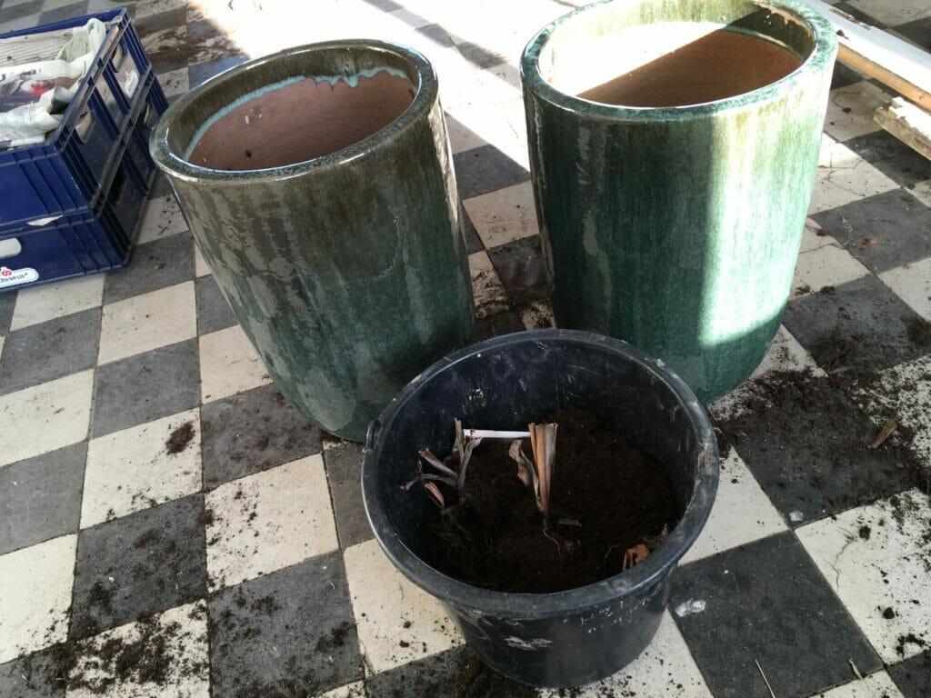 plantning af canna knolde
