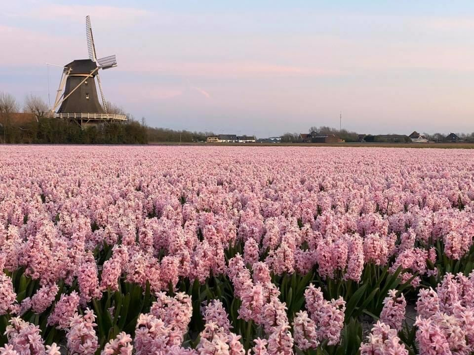 pink hyacinter hyacint hyacinth
