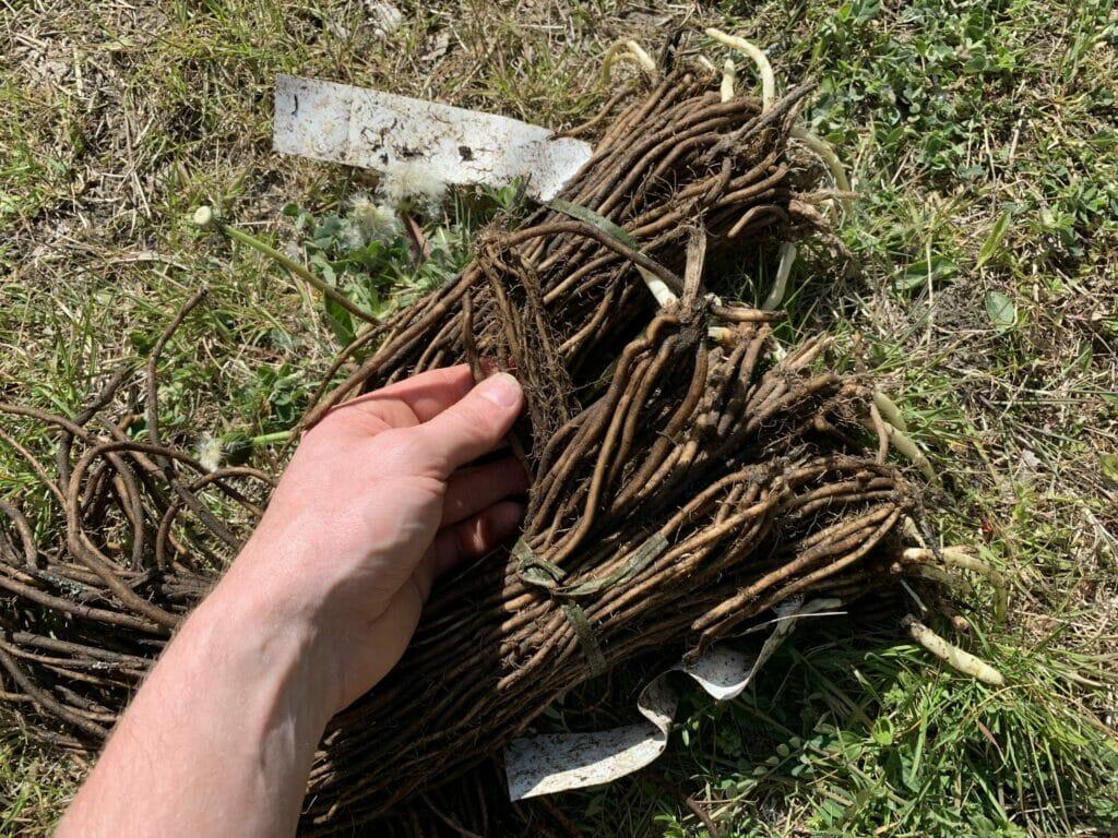 asparges kroner planter barrods