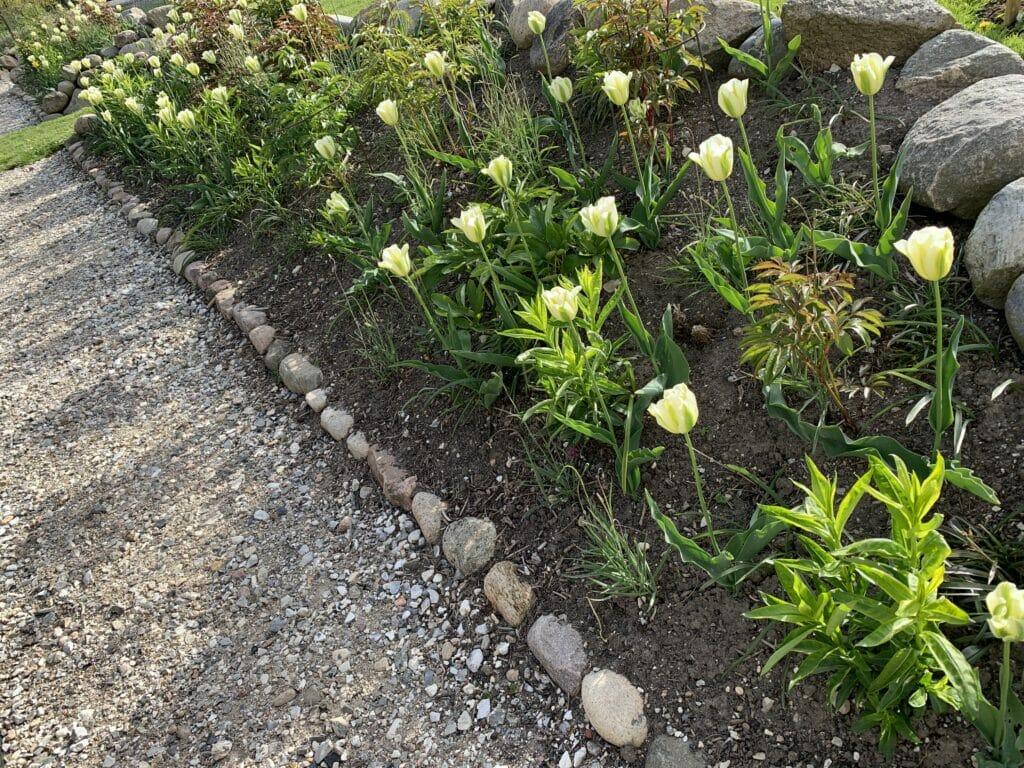 hvide tulipaner tulipan spring green