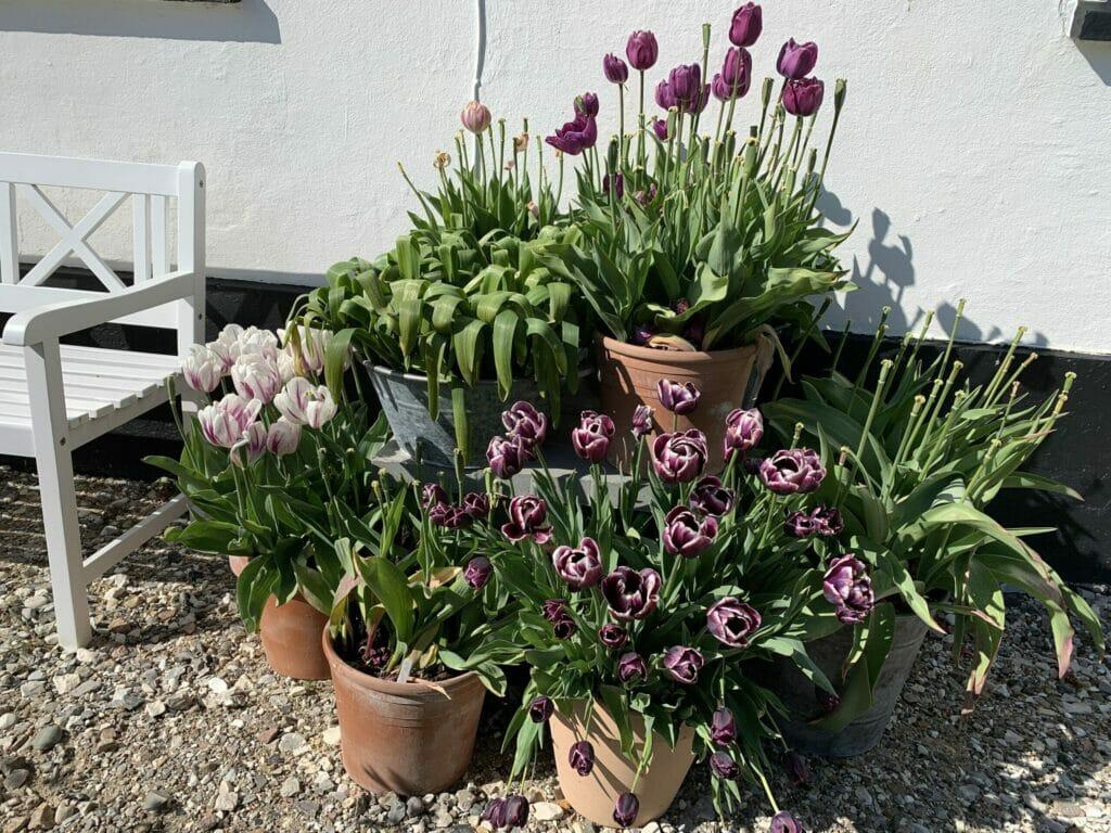 krukkehave med tulipaner krukker