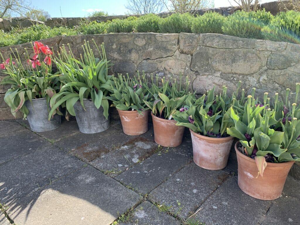 Krukkehave til tulipaner