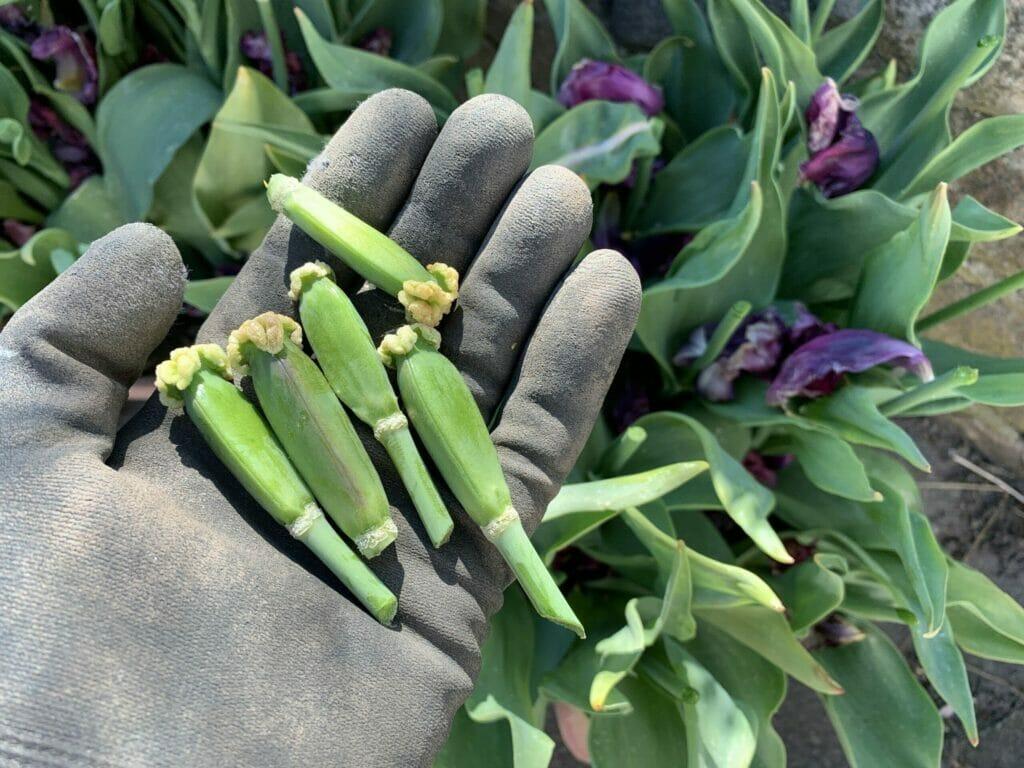 klipning tulipaner dyrkning