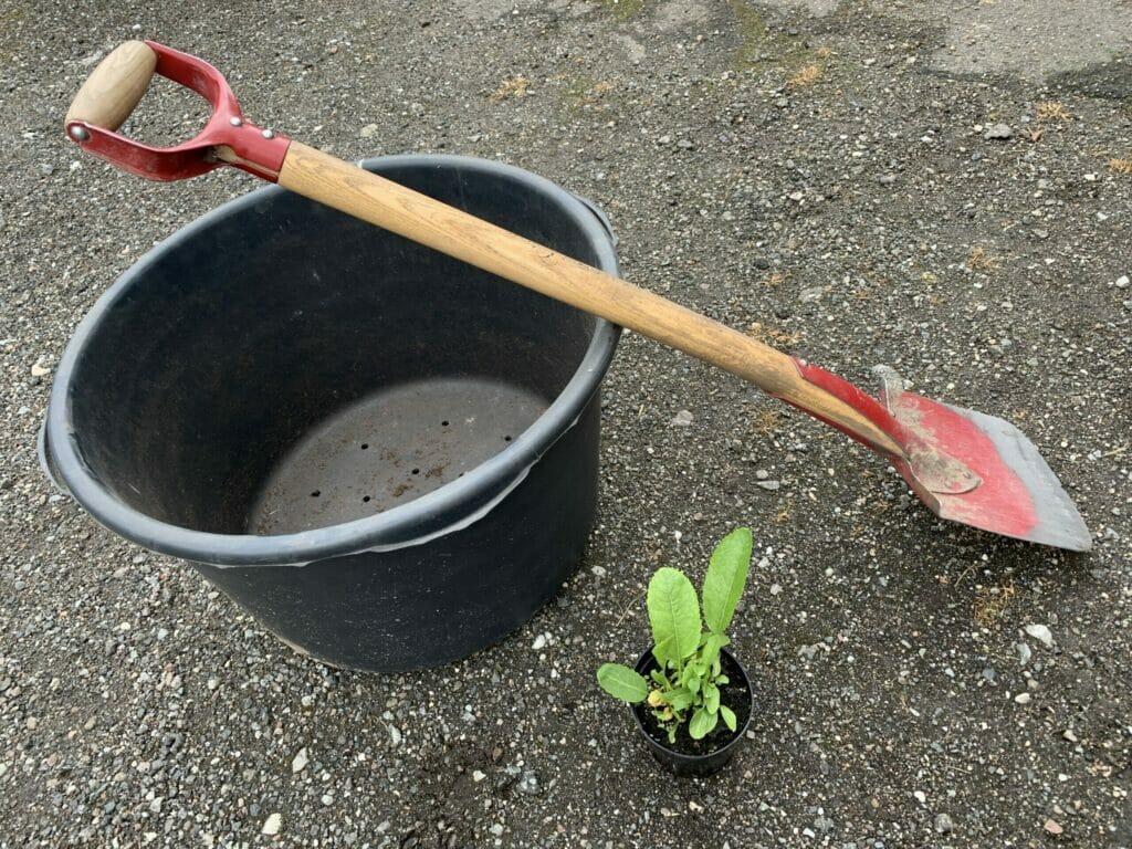 Plantning af peberrod