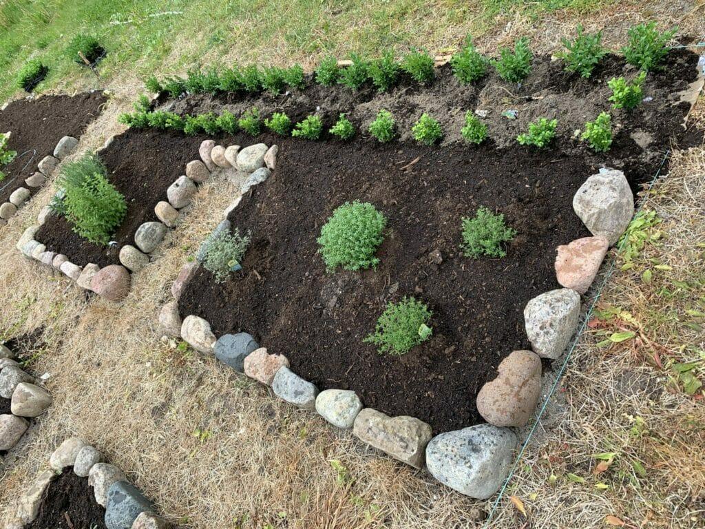 planting af buksbom hæk