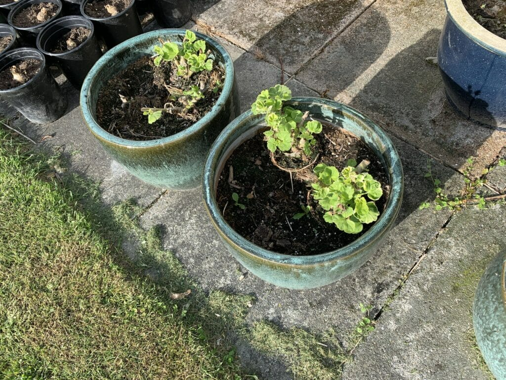 Pelargonie overvintring vinter