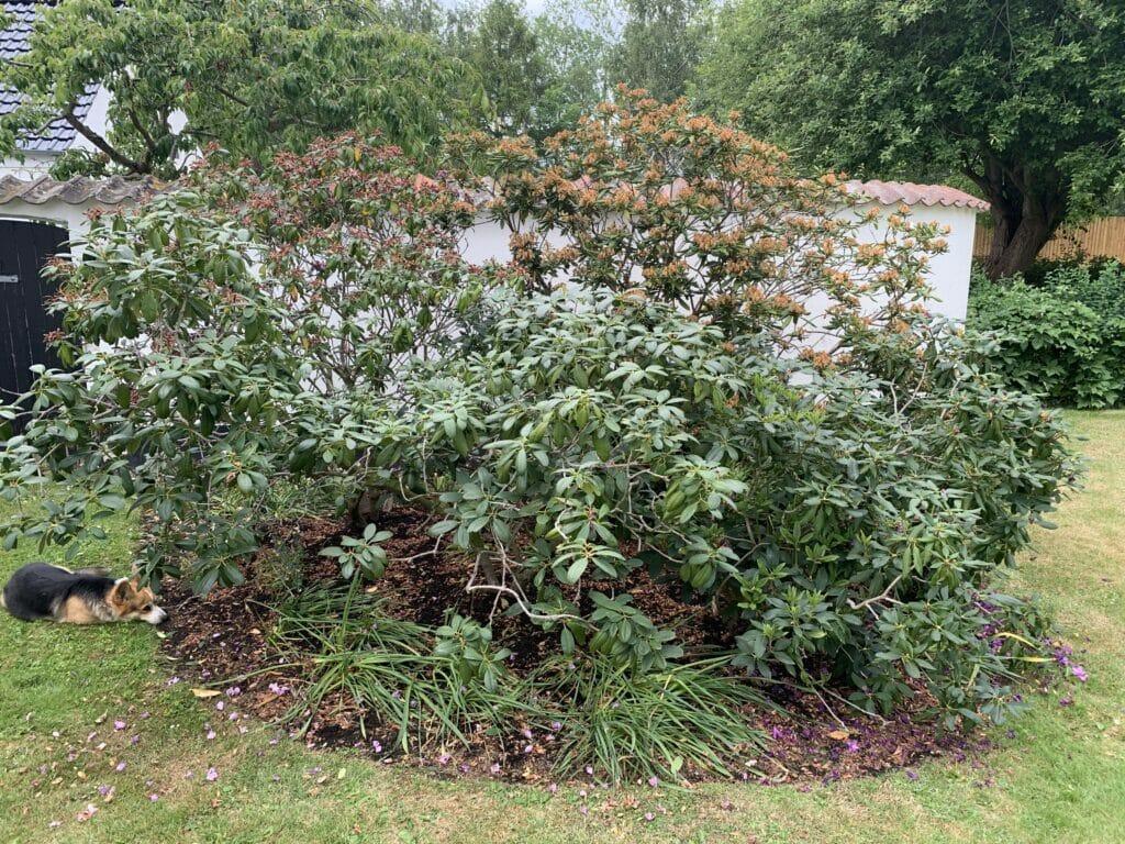 Beskæring af rhododendron