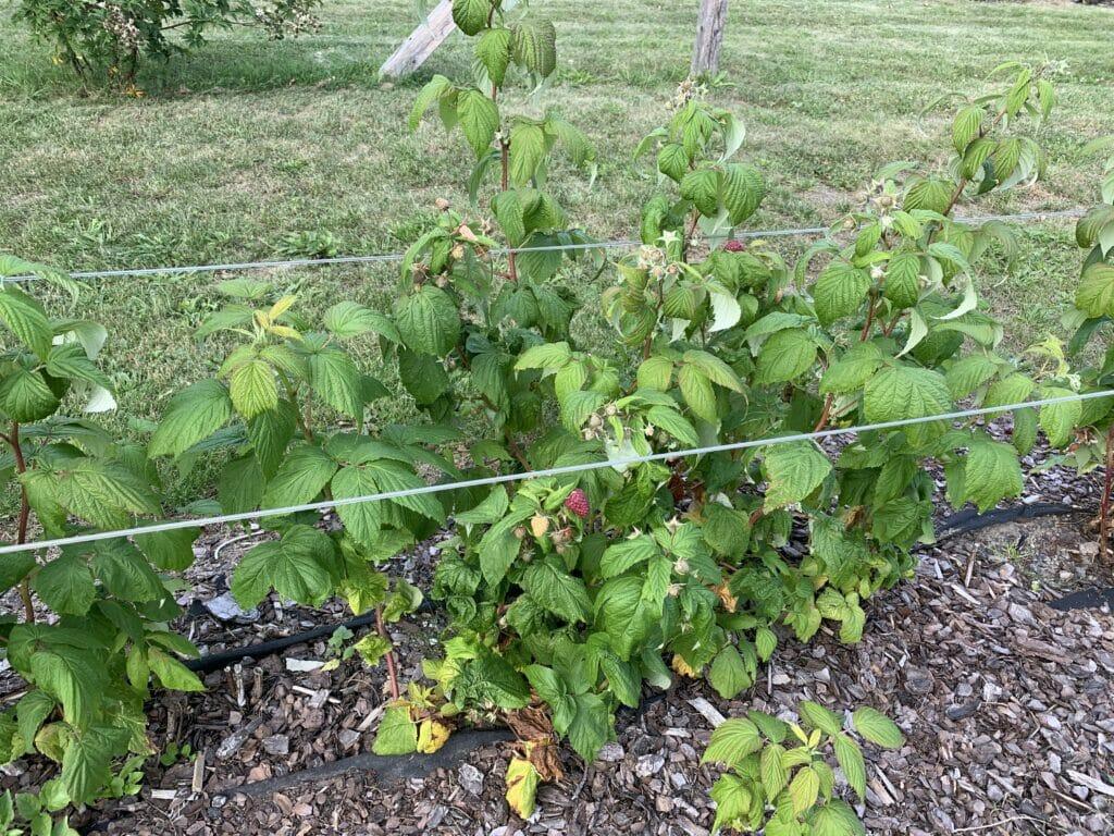 hindær beskæring hindbær