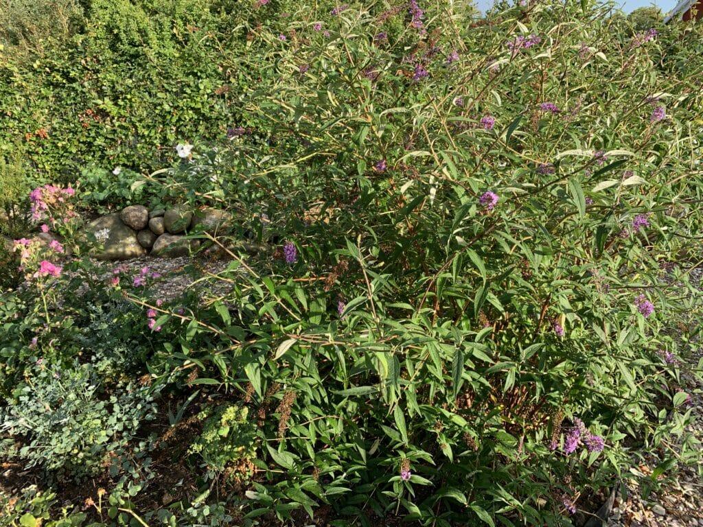 Sommerfuglebusk sommerfuglbusk