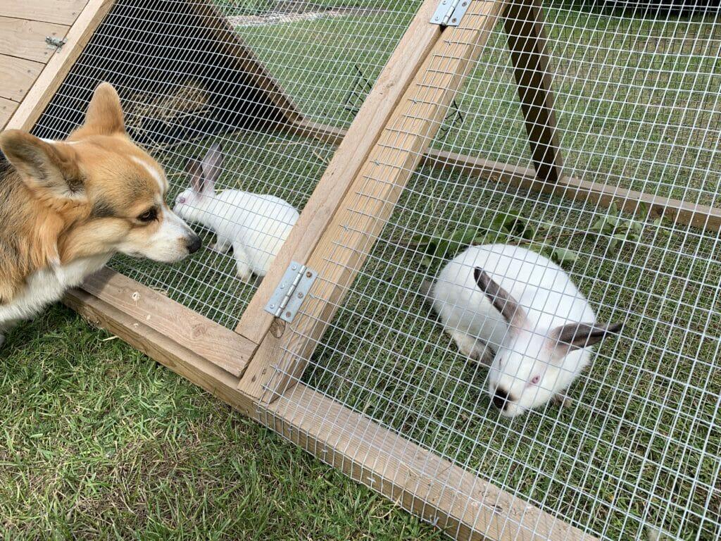 Kanin kaniner california kaninbur løbegård