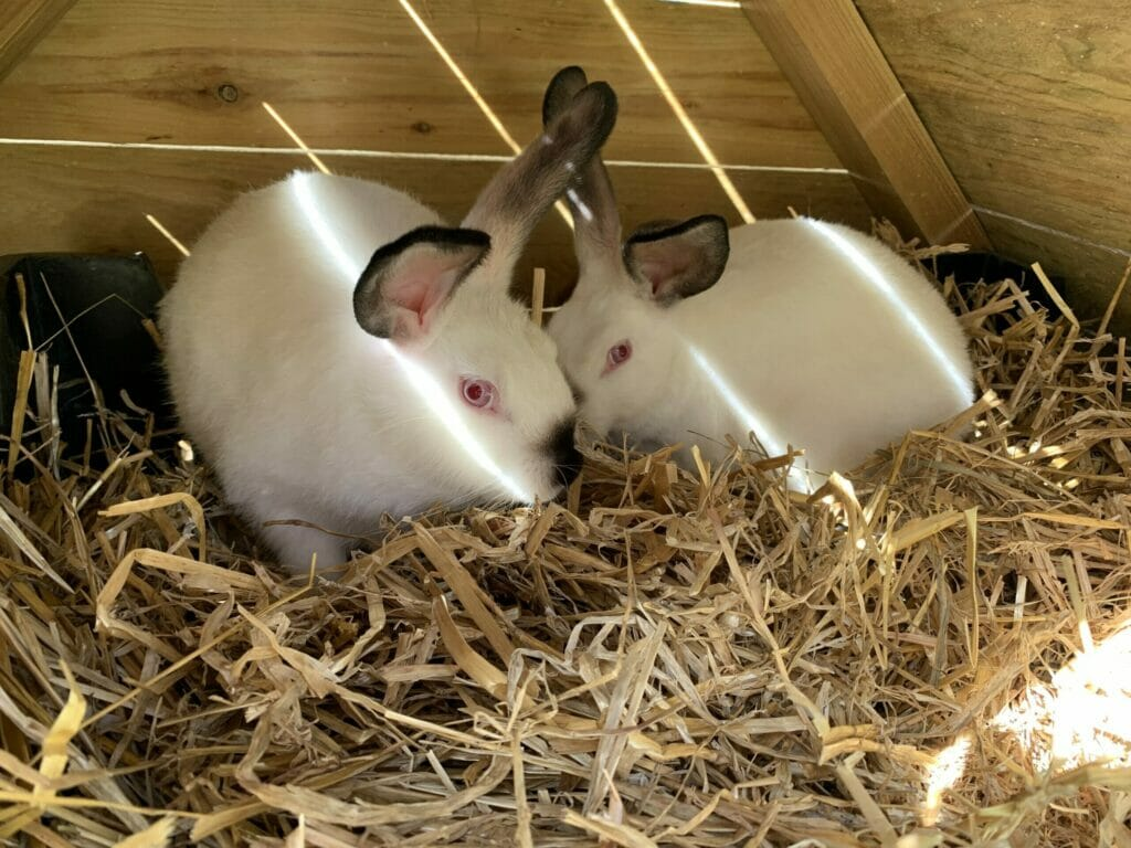 kanin kaniner california