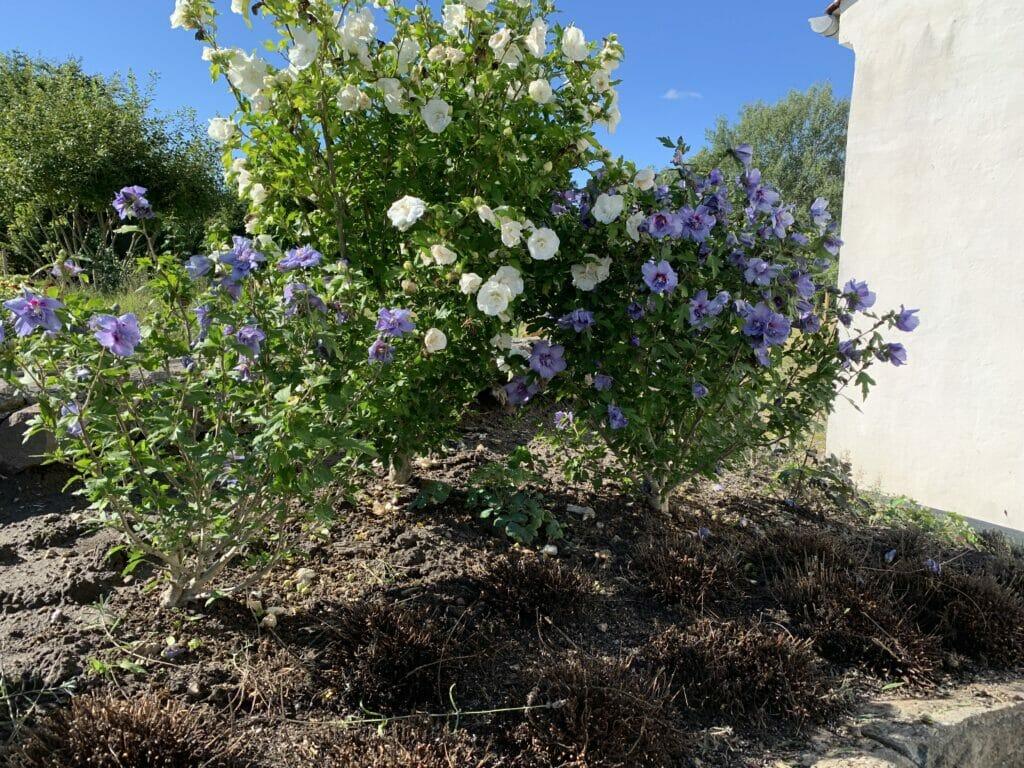 Have hibiscus syrisk rose