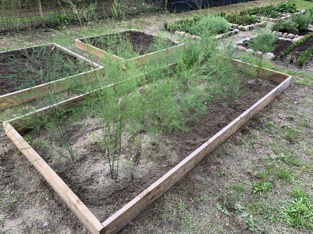 jord dyrkning asparges køkkenhave