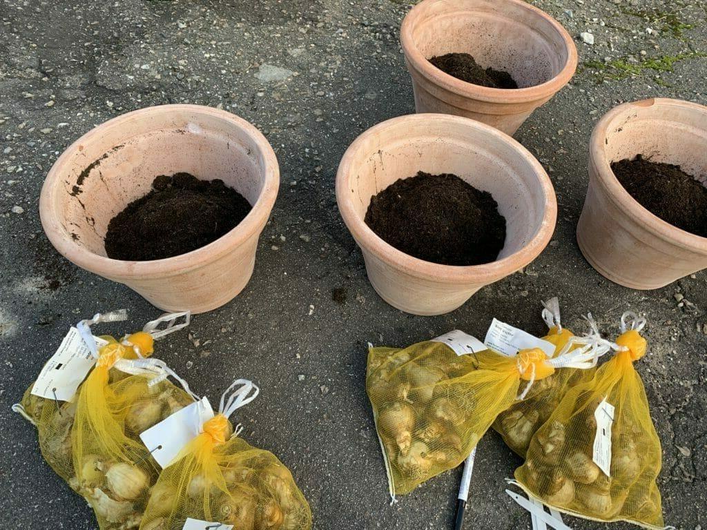 Plantning af påskeliljeløg påskeliljer løg