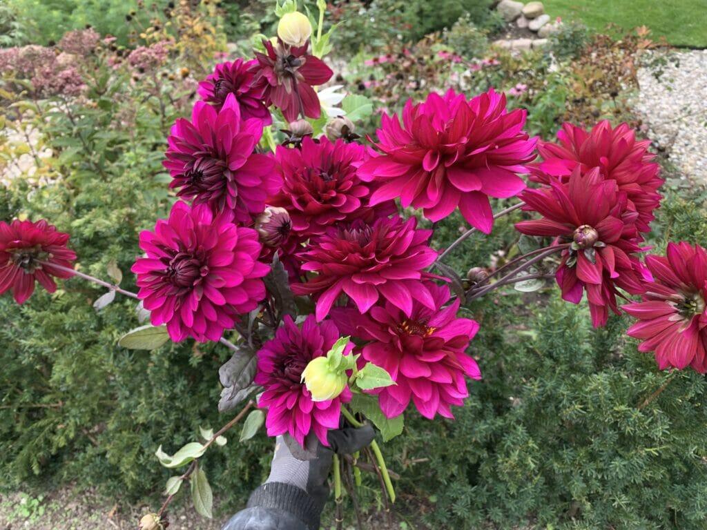 Dahlia buket blomster