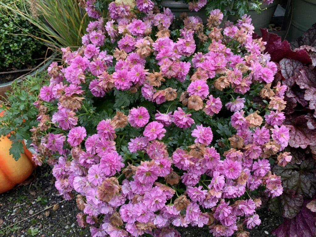 Krysantemum pasning efterårsblomster i haven