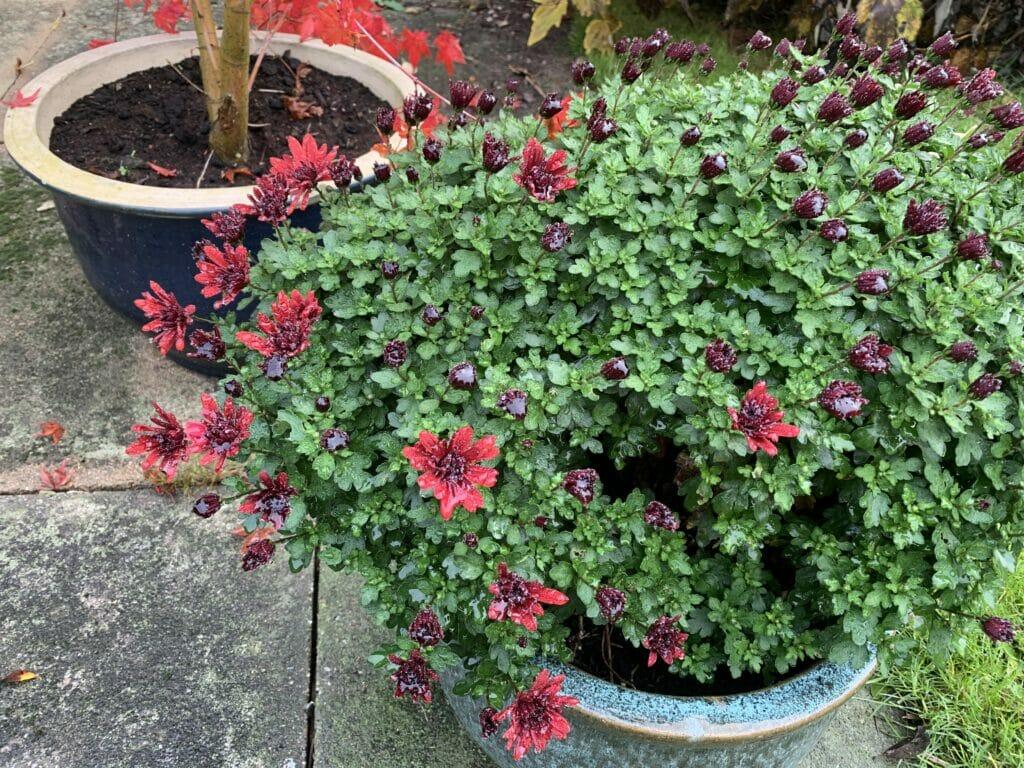 Krysantemum Efterårsblomster