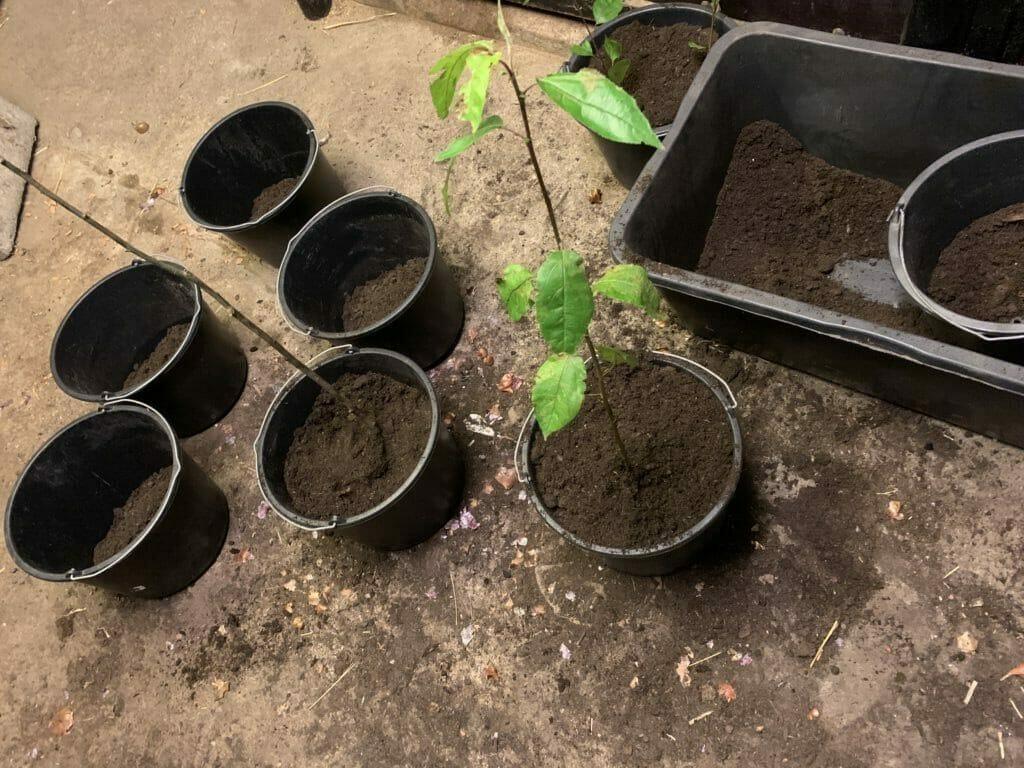 plantning paradisæbletræ paradisæbletræer