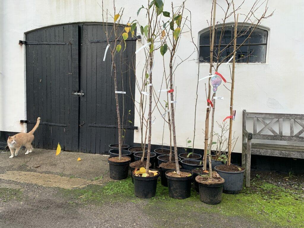 Træer til haven Japansk Kirsebærtræ