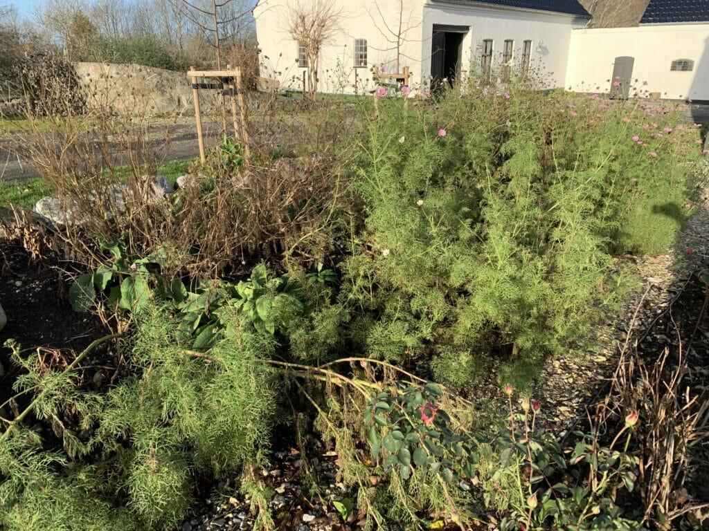 stolt kavaler afblomstret kompost