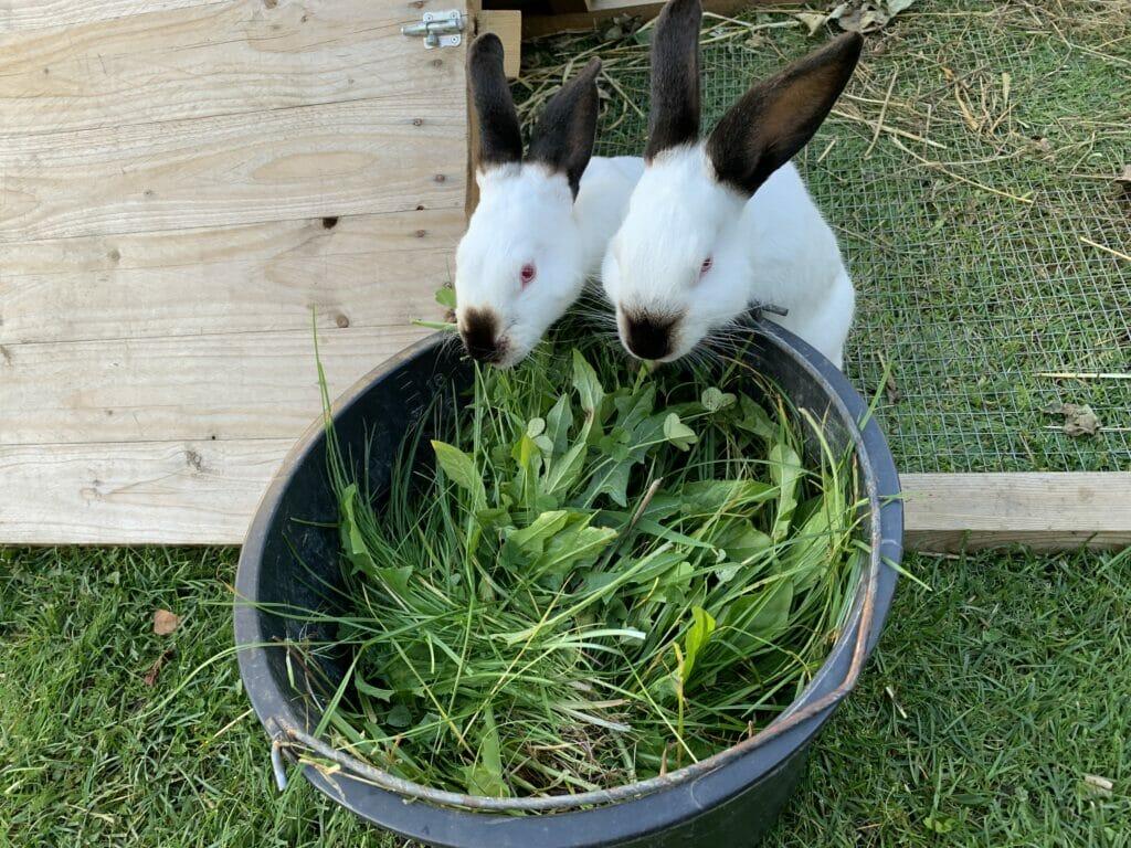 kanin kaniner fodring