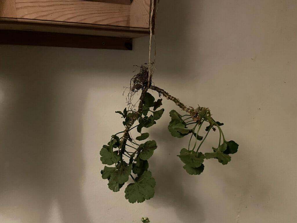 Nem vinteropbevaring overvintring af pelargonier