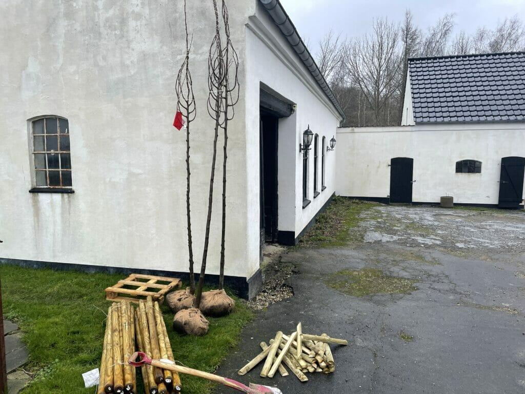 lindetræer opbinging træer i haven