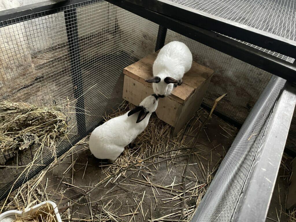parring kanin kaniner