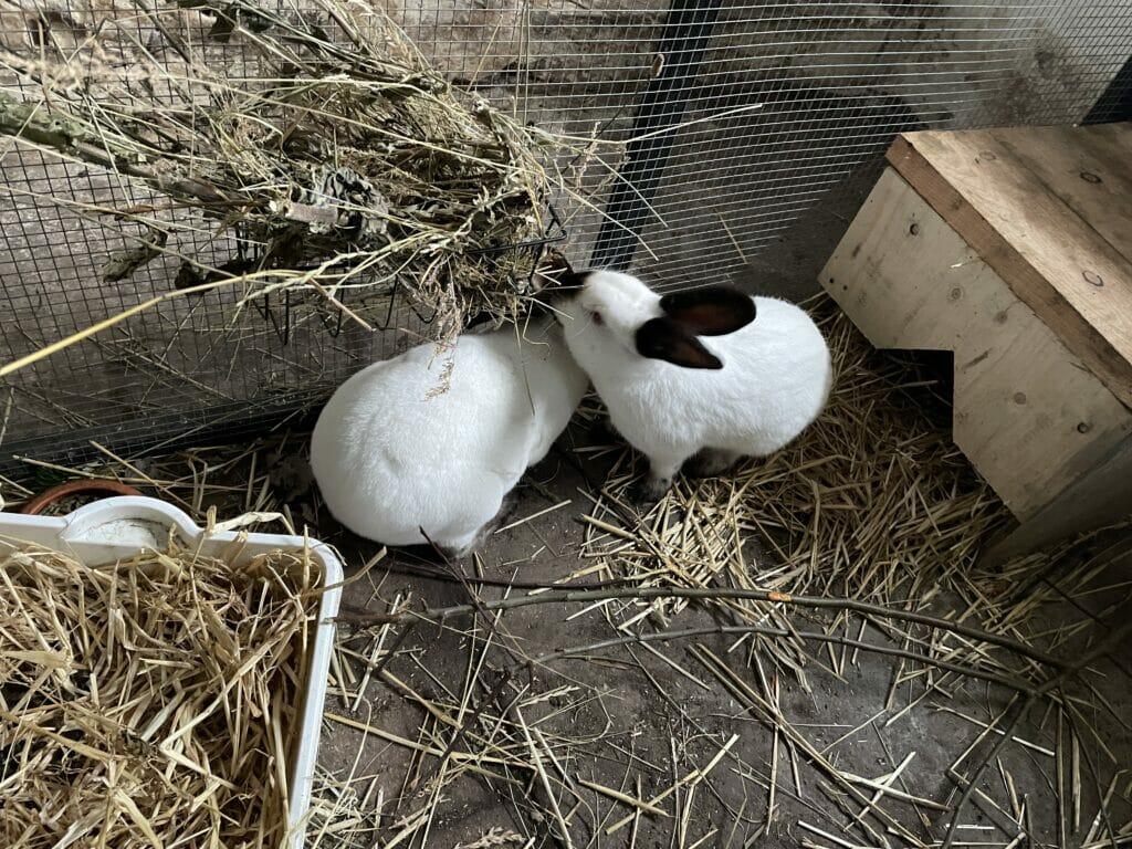 kaninavl parring kaniner kanin